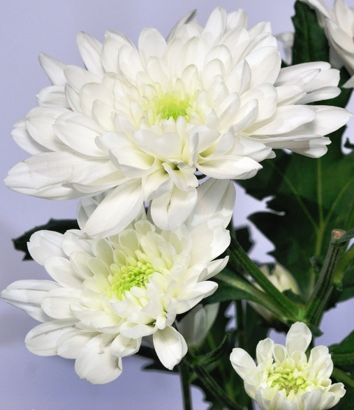 Flowers legends and lore inspiration for the spirit white chrysanthemum mightylinksfo