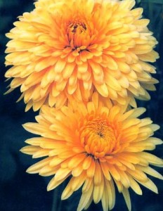 golden chrysanthemum