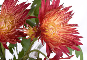 burnt-orange chrysanthemum