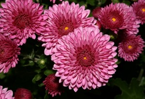 dark pink chrysanthemums