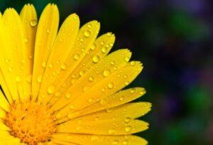 golden daisy in rain