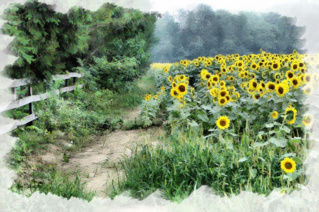 """Sunflower Field"" by Tom Schmidt, watercolor, 2009"